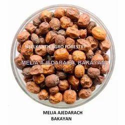 Melia Azedarach Bakayan Seed