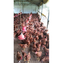 Giriraja Chicks