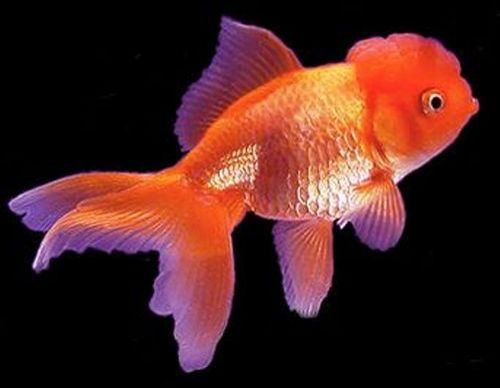 Fish - Oscar Cichlid Fish Retailer from Durg