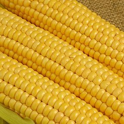 Poultry Feed Indian Yellow maize