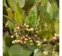 Tylophora Indica Plant