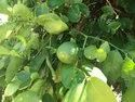 Grapefruit Plant