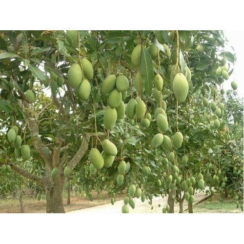 Natural Mango Tree