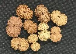 Natural Nepal Origin Gaurishankar Rudraksh Bead