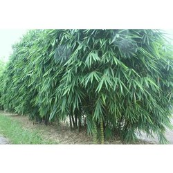 Well Watered Budha Belly Bamboo Plant