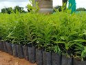 Garden White Sandalwood Plant