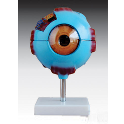 Giant Eye Model/ Eyeball Model