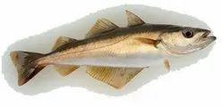Pollack Fish