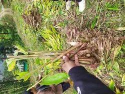 Cardamom Plants