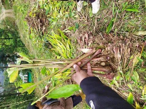Senna Auriculata Green Cardamom Plants, For Spices plant