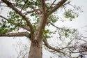 Bombax Ceiba Plants