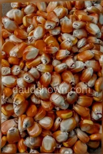 A Grade Golden Corn, Packaging Size: 100 Kgs