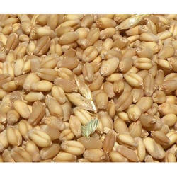 Organic Wheat Seed, Pack Size: 5, 10, 25, 50 Kg