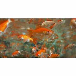Orange Aquarium Tropical Fish