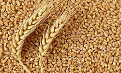 Indian Brown Wheat