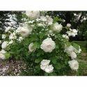 Kashmiri White Rose Plant