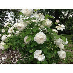 Kashmiri White Rose Plant