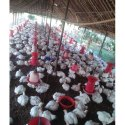 White Broiler Chicks, 70-90 Gram, Age: 5-15 Days