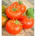 Hybrid Tomato Seeds TM - 1701