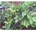 Tissue Culture Keshav Guava Plants