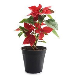 Tissue Culture Poinsettia Plant