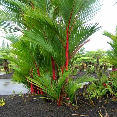 areca palm trees at rs 3000 piece palm trees maa nursery and