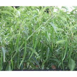 Hybrid Green Chilli Seeds CH - 37