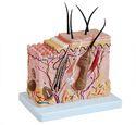 Human Anatomical Model