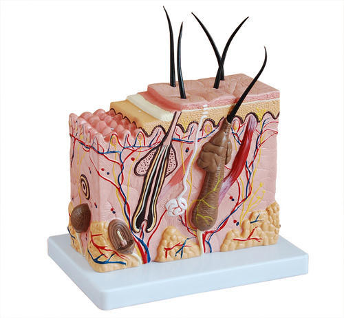 Skin Anatomical Model For Training At Rs 4000 Piece Human Anatomy