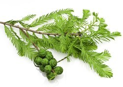 Cypress Organic Oil