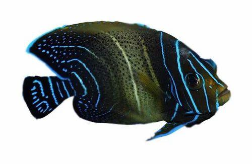 Doubt. adult koran angel fish remarkable, the amusing