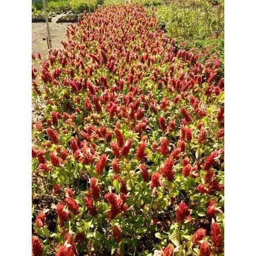Belapuram Flower Plant