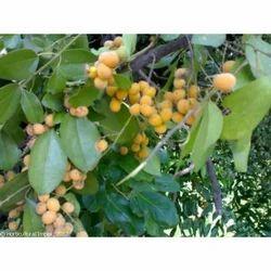 Horticultural Impex Artocarpus Lakoocha Seed, Pack Size: 1 Kg