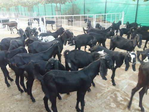 Goat Farming Bankable Detailed Project Report in Madeshwara