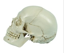 Dis Articulated Skull