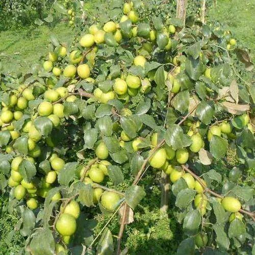 Jp apple