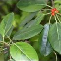 Banyan Herbal Extract ( Oil Soluble)