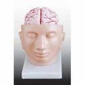 Brain With Arteries On Head/ Skull With Brain Model