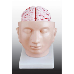 Brain With Arteries On Head/ Skull With Brain Model