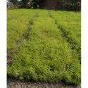 Green Shatavari Plant