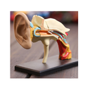 Human Ear Models