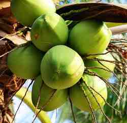 Pollachi Tender Coconut