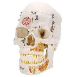 Deluxe Demonstration Skull Models