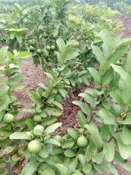 Guava G Vilas Plant