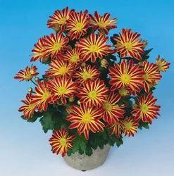 Robinho Red Chrysanthemum Pot Plant