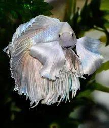 Blue Betta Fighter Fish, Size: 2inchs