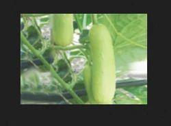 Rutuja  F1 Cucumber