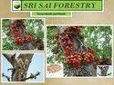 Ficus Racemosa Seeds