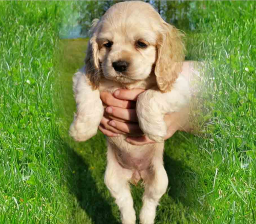 American spaniel puppies - Free cocker spaniel screensavers ...