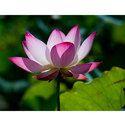Pink Lotus Absolute Oils